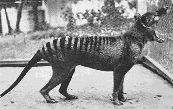 The-very-last-tasmanian-tiger-the-species-is-now-extinct