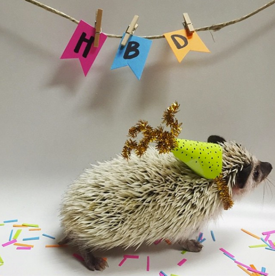 finley-hedgehog-with-hat-on